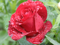Пазлы онлайн. Картинка №746: Розовая роса Размер картинки: 640х480